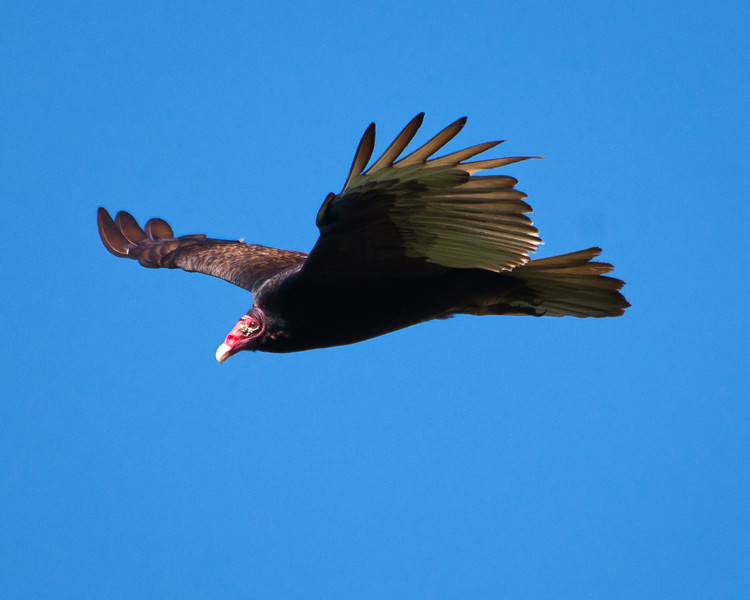 Turkey Vulture - c6788