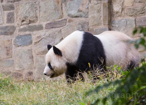 A Panda at the National Smithsonian Zoo:  Washington DC. September 2013