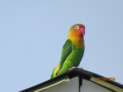 Parrots and Lovebirds (Psittacidae)
