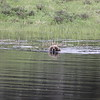 Grizzly Bear swimming