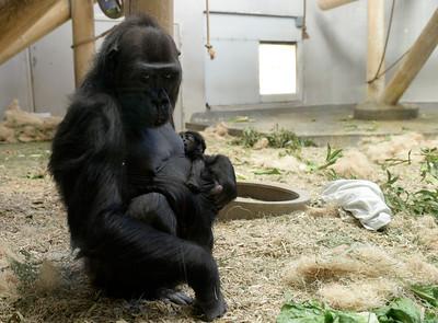 2016-03-08 Lowland Gorilla born at Denver Zoo