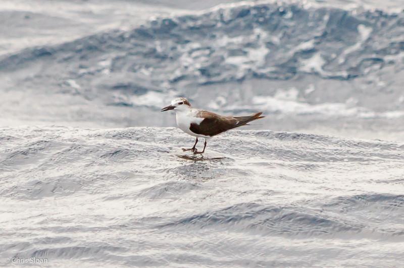 Bridled Tern juvenile at Gulf Stream off Hatteras, NC (08-09-2014) 033-30.jpg