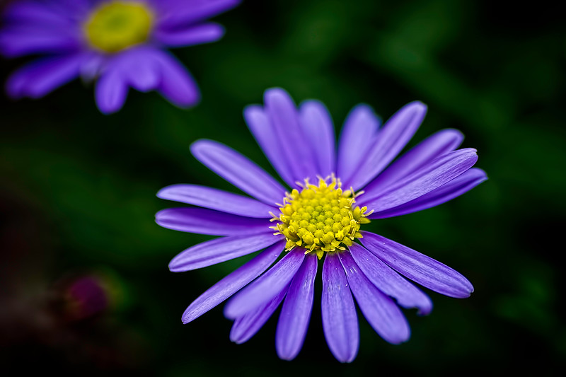 Purple Daisy.jpg