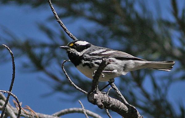 Blackthroated Gray Warbler