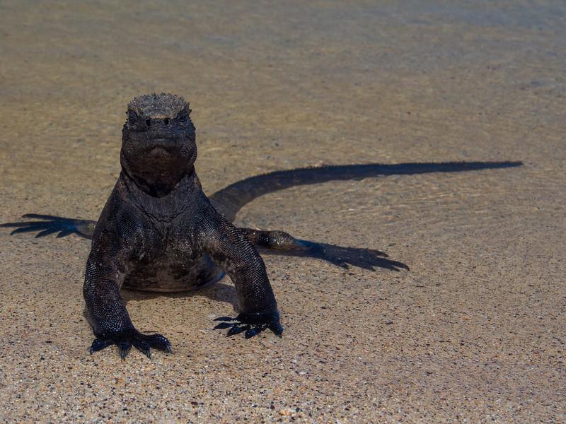 marine iguana.jpg