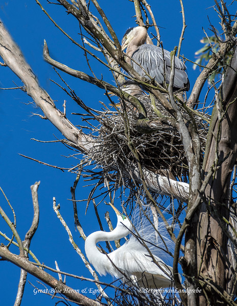 _DSC2789Gret Blue and  Egret on nest.jpg