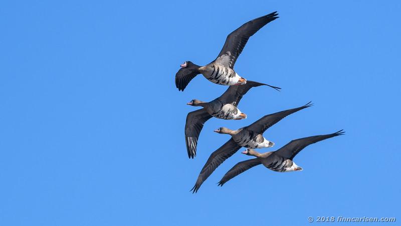 Blisgås - Anser albifrons - Greater white-fronted Goose