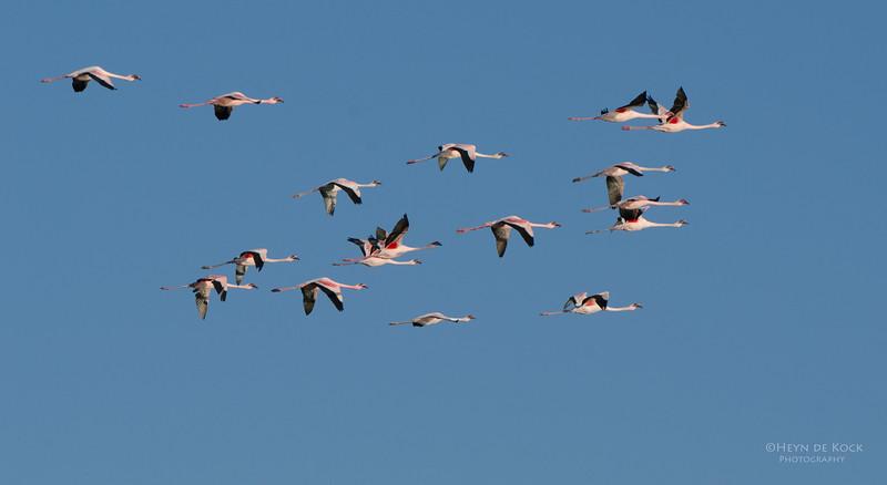 Lesser Flamingo, Etosha, Namibia, Jul 2011.jpg