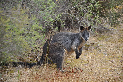 Wallaby 2012-12-13