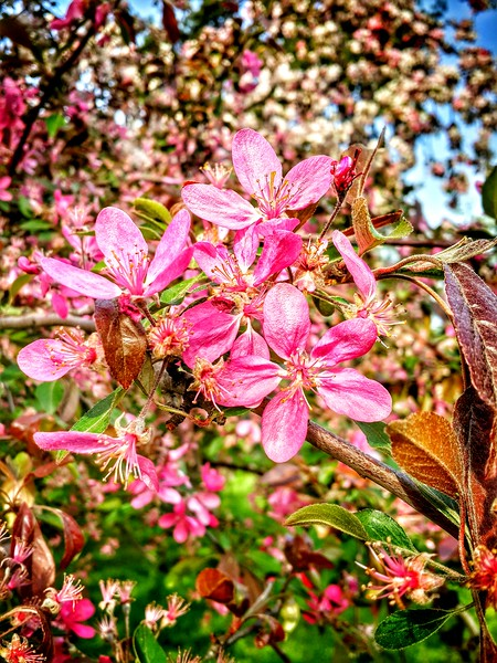 Sakura in Kyiv