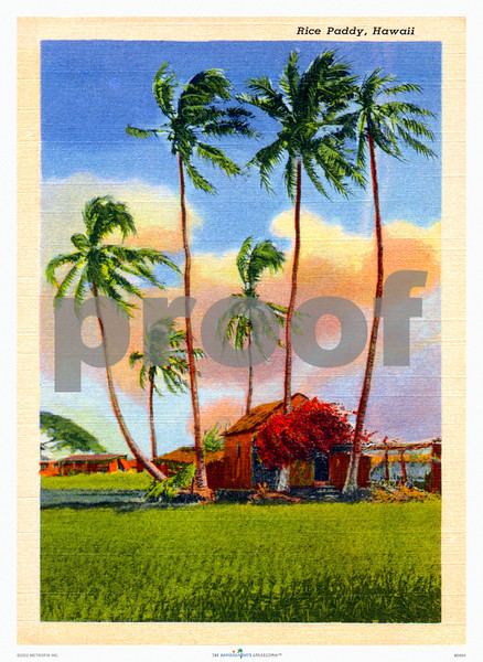 246: 'Rice Paddy, Hawaii' Postcard. Ca. 1926. (PROOF watermark will not appear on your print)