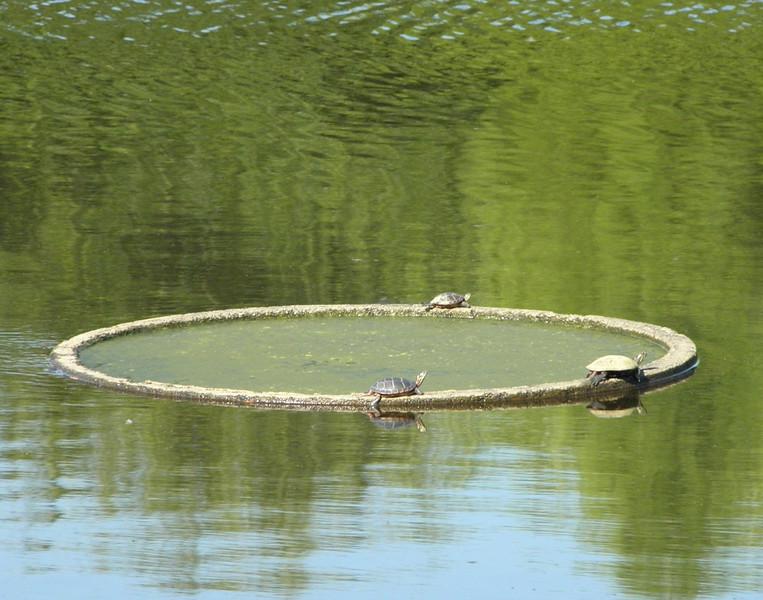 Turtles on ring