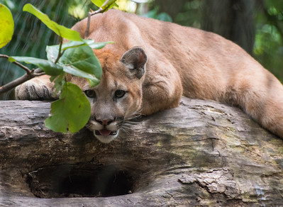 Florida Mountain Lion