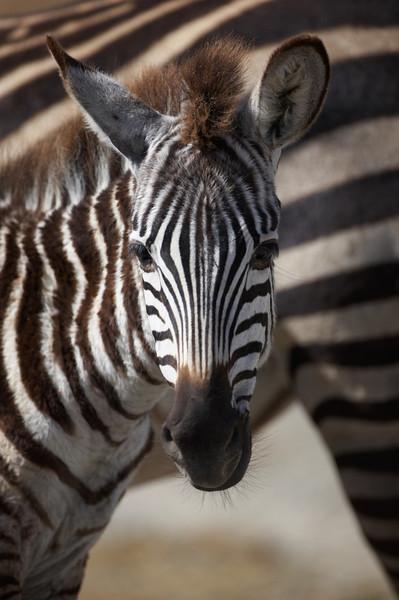 Zebra -3306.jpg