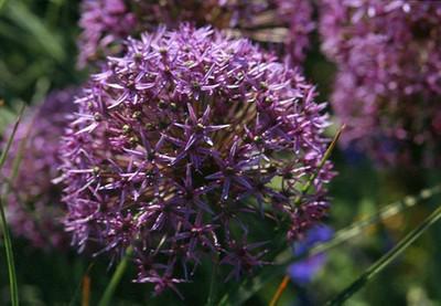 Allium 'Violet Beauty'.jpg
