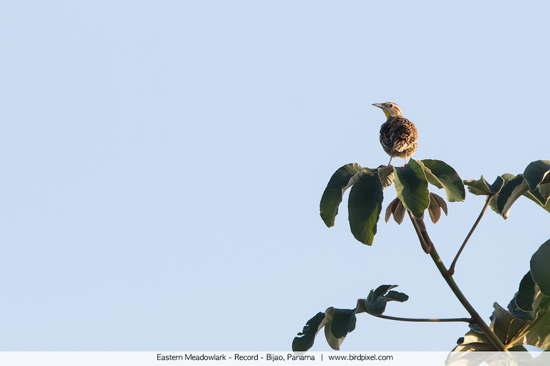 Eastern Meadowlark - Record - Bijao, Panama