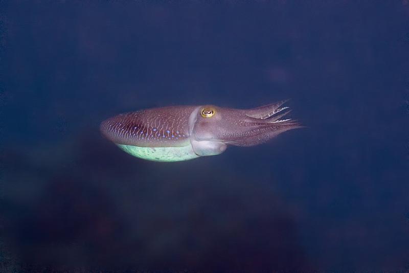 Cuttlefish 5.jpg