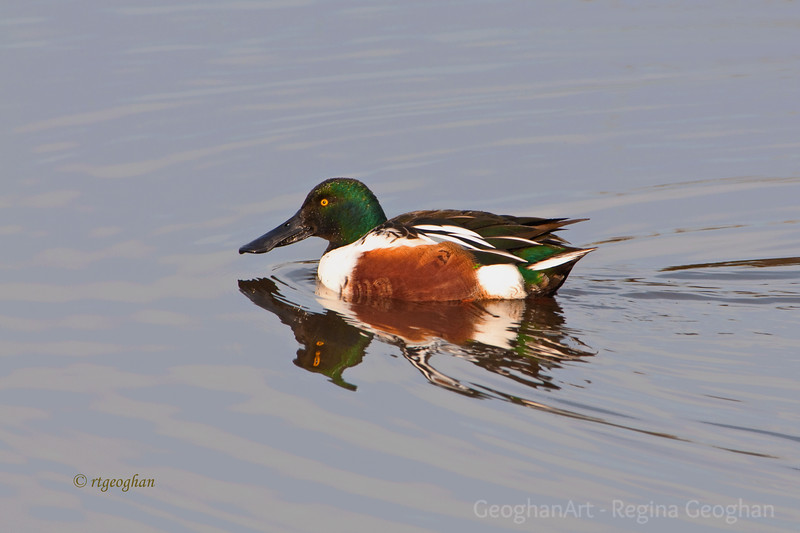 Nov 27_Northern  Shoveler Male_9072.jpg