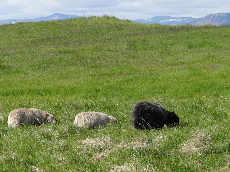 Sheep on Flatey Island