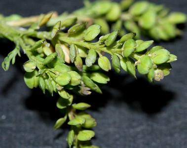 C0543, similar to Lepidium nitidum