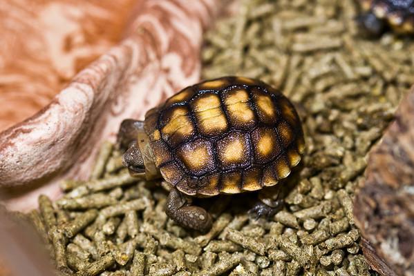 2009 Baby Desert Tortoises