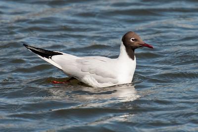Iceland - Gulls