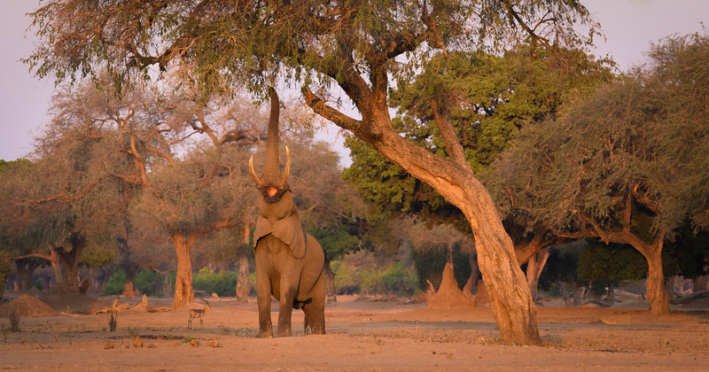 Browsing elephant at sunset, Mana Pools National Park