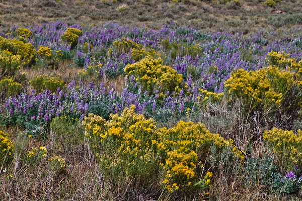 a sea of purple and yellow at the National Elk Refuge, Jackson, Wyoming