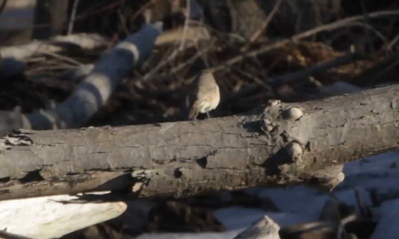 Rock Wren  Maple Island Road  Riverlands Migratory Bird Sanctuary  1/29/16 3:33 PM     Click here to open video in lightbox/full screen     Click here to open video in lightbox/full screen