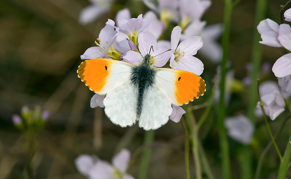 UK Butterflies and Dragonflies/Damselflies