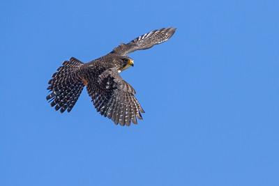 N.Z. Bush Falcons
