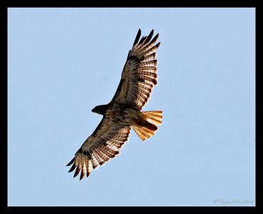 Hawks (Accipitridae)