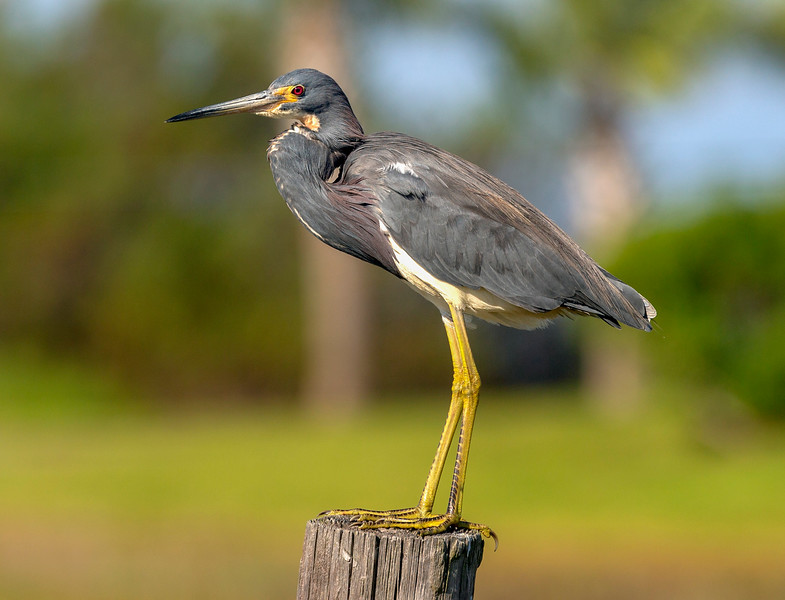Tricolor Heron on a post