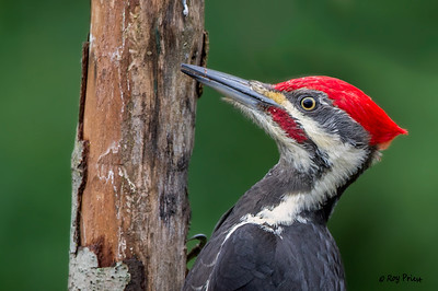 Woodpeckers, Sapsuckers and Flickers