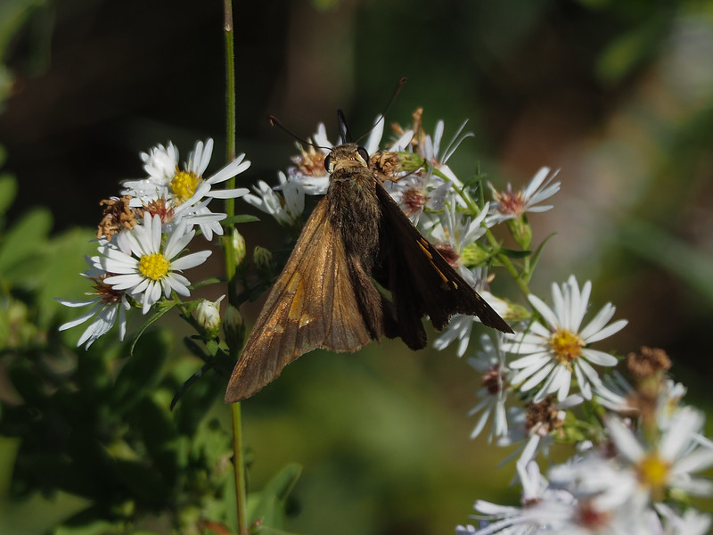 Silver Spotted Skipper