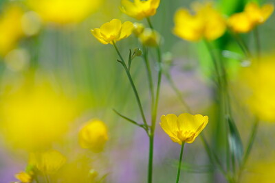 Blooming buttercup flowers
