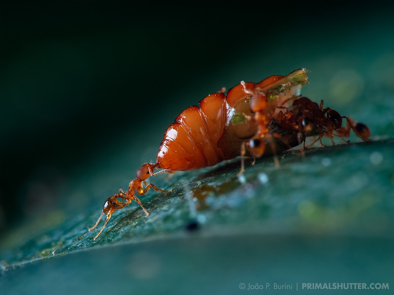 Small worker ants carrying another insect pupa