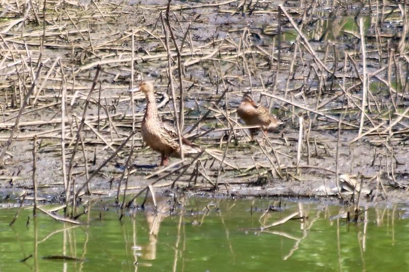Mallards (pair) @ Simpson Lake CP