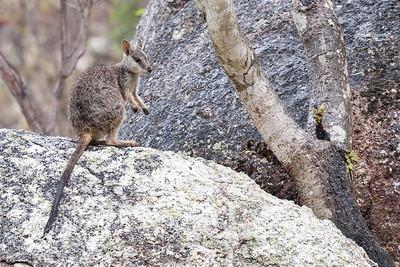 Mt Claro Rock-wallaby (Petrogale sharmani)