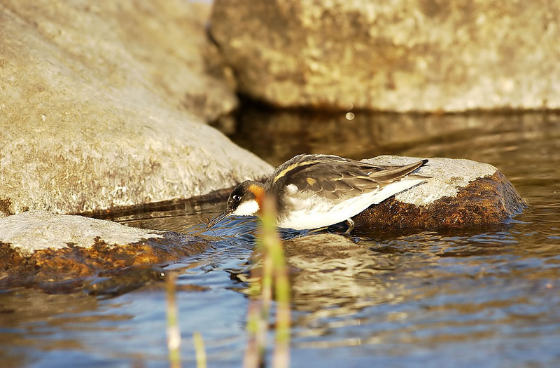 Svømmesnipe (© Ragnar Våga Pedersen)