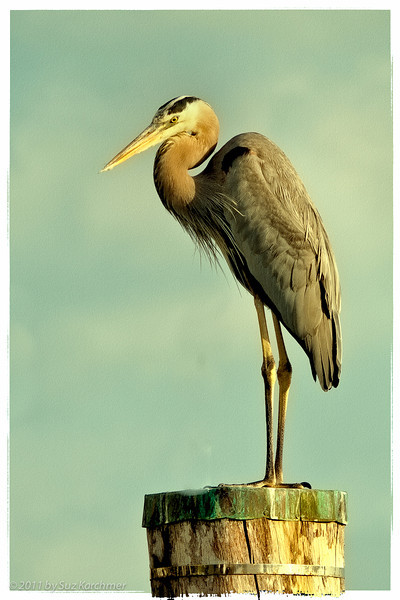 Heron at South Beach Marina.jpg