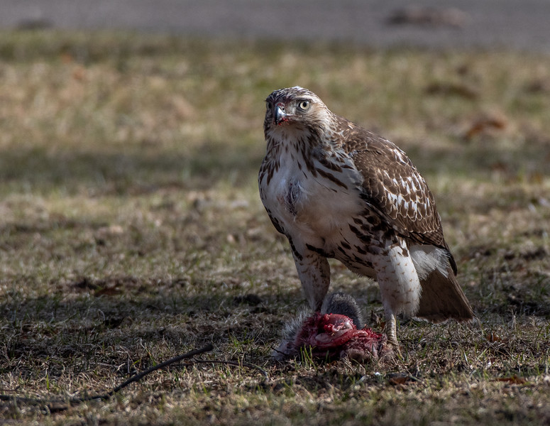 Red-Tailed Hawk with squirrel lunch