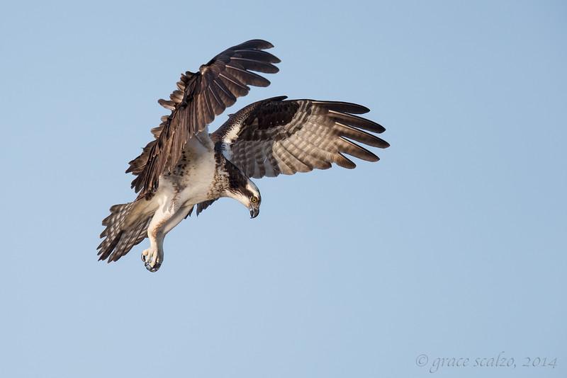 Osprey Hover