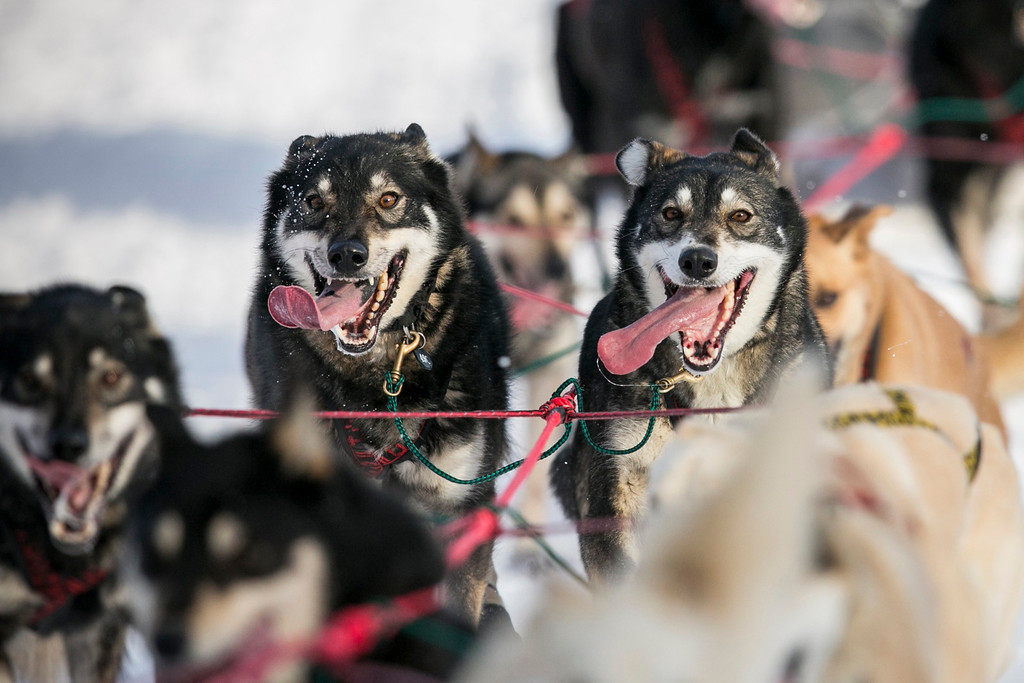 . Gerald Sousa\'s team charges down the trail at the re-start of the Iditarod dog sled race in Willow, Alaska March 3, 2013. From Willow, the race runs for almost 1000 miles as it crosses the state. REUTERS/Nathaniel Wilder