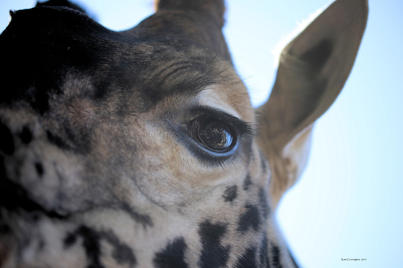 IMG_2912 Giraffe Eye Signed.jpg