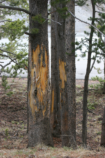 bison horn scrapings on trees
