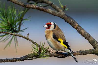 Goldfinch in the Light