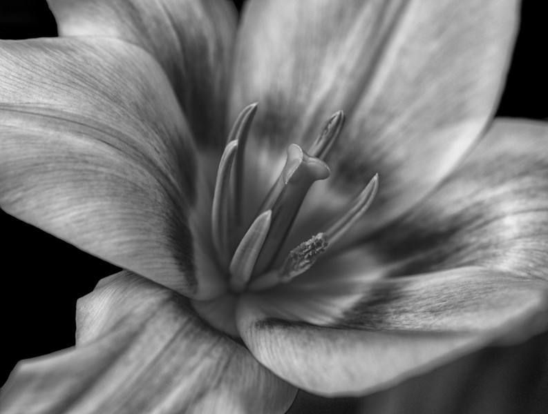 """08 Apr 14.  We'll go with a triple play and take a look at another flower image for today. This could have been saved for Friday's macro shot, and was in fact shared a Friday back as a color image. This time, being B&W Tuesday it is obviously in monochrome. I hoping that the lack of color allows you to get a multidimensional feel for this subject, a feeling that wasn't nearly so in the color version. You will recall I suggested that you keep the colored version around for a few days, the intent being that you could, should you desire, compare them side by side. The work done to give you a feeling of the texture in the plant also resulted in a bit of digital """"noise"""" being added. Since that noise is an artifact of the manipulation, I would normally remove it, but, in this case, I thought it made the image look like it was taken on hi-speed film from days of yore, and elected to leave it in. If grain is not to your liking, and you like to fiddle with the images, you should be easily able to remove it in an amount to your liking. All the info I shared for the color image before applies to this shot as it is the same image. Nikon D300s; 105mm Macro; Aperture Priority;  ISO 200; 1/250 sec @  f / 7.1 on a tripod."""