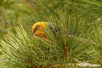 Olive Warbler, Tucson AZ, USA