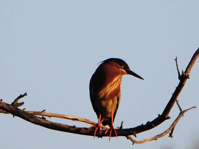 Green Heron - 4/12/2013 - Poway Pond